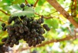 Branches of red wine grapes growing in Italian fields. Close up