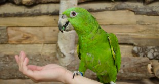 Amazon parrot sitting on a human hand
