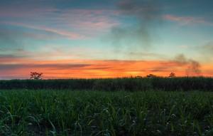 sugar cane with landscape sunset sky photography nature backgrou